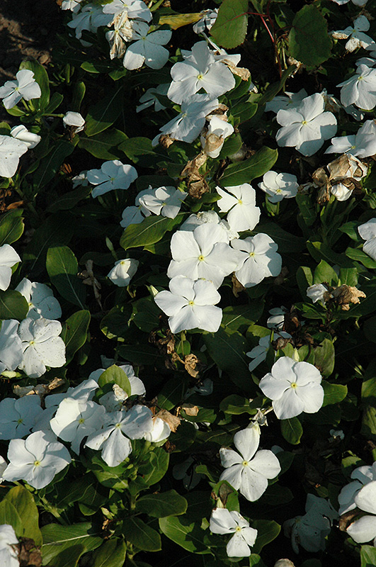 Titan Pure White Vinca (Catharanthus roseus 'Titan Pure White') at Homestead Gardens