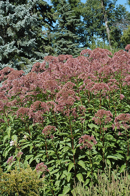 Joe Pye Weed (Eupatorium purpureum) at Homestead Gardens