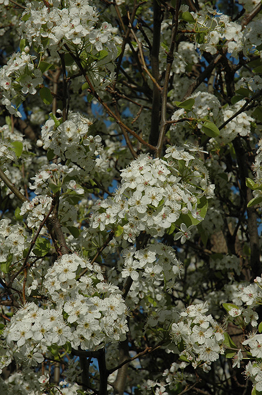 Chanticleer Ornamental Pear (Pyrus calleryana 'Chanticleer') at Homestead Gardens