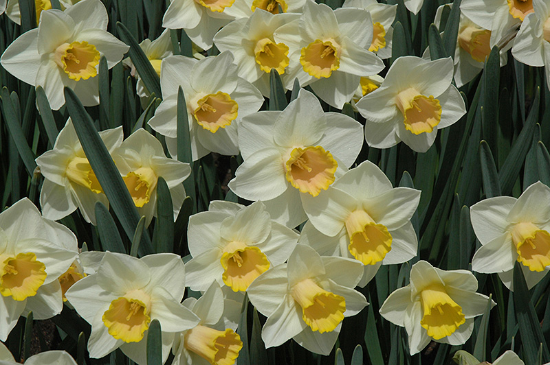 Salome Daffodil (Narcissus 'Salome') at Homestead Gardens