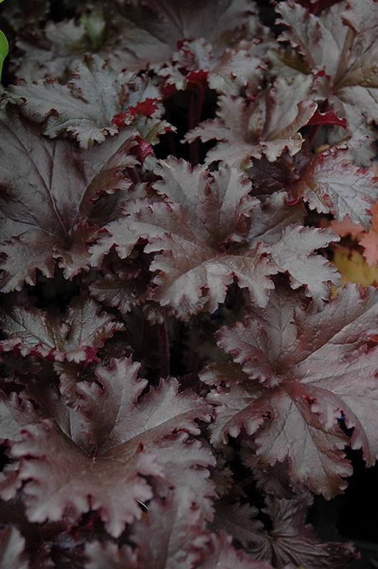 Black Taffeta Coral Bells (Heuchera 'Black Taffeta') at Homestead Gardens