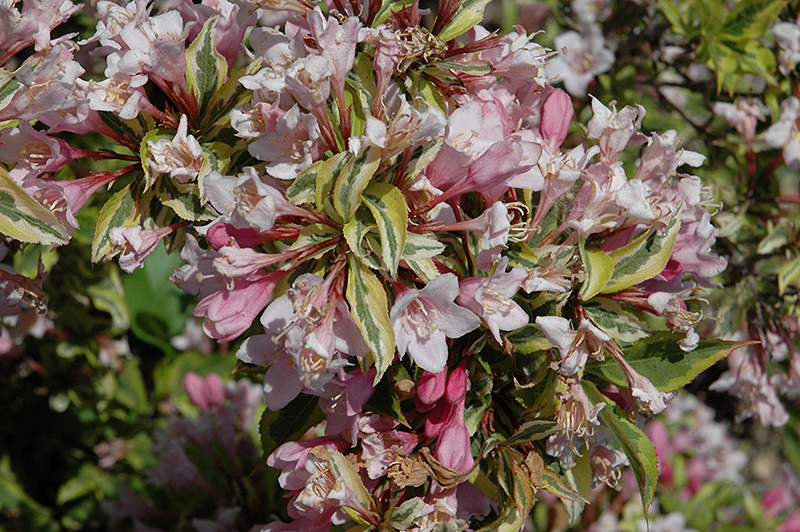 Rainbow Sensation Weigela (Weigela florida 'Kolmagira') at Homestead Gardens