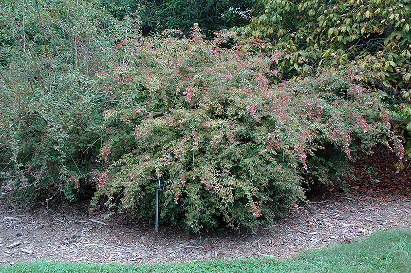 Edward Goucher Abelia (Abelia x grandiflora 'Edward Goucher') at Homestead Gardens