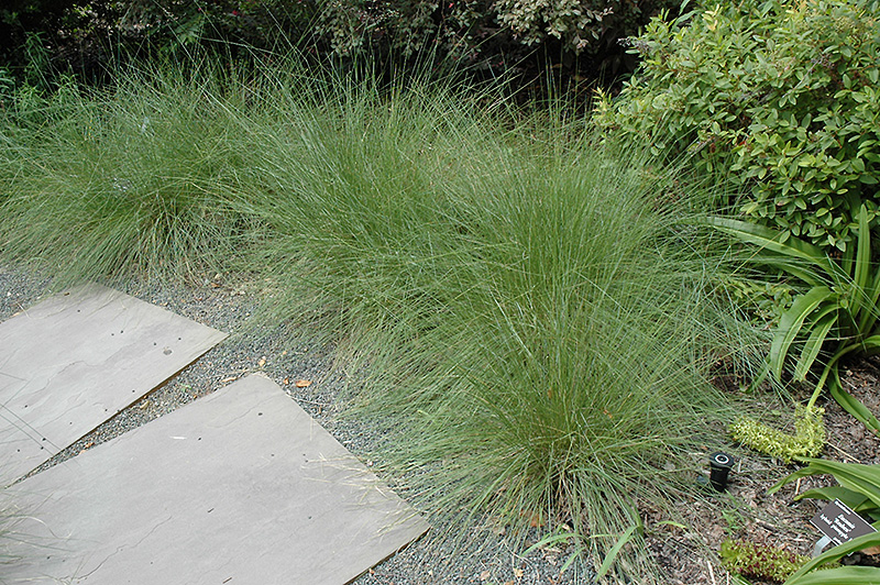 Hairawn Muhly (Muhlenbergia capillaris) at Homestead Gardens