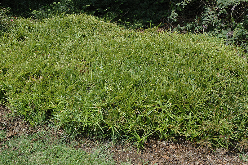 Dwarf Umbrella Plant (Cyperus albostriatus 'Nanus') at Homestead Gardens