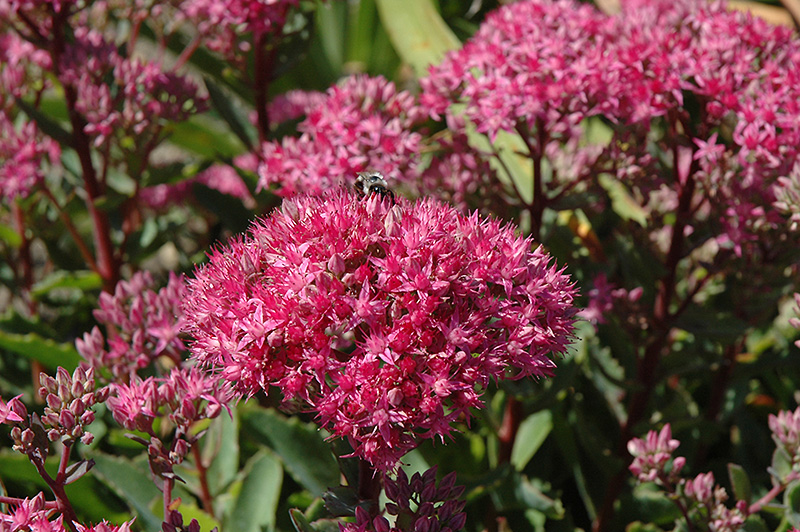Carl Stonecrop (Sedum 'Carl') at Homestead Gardens