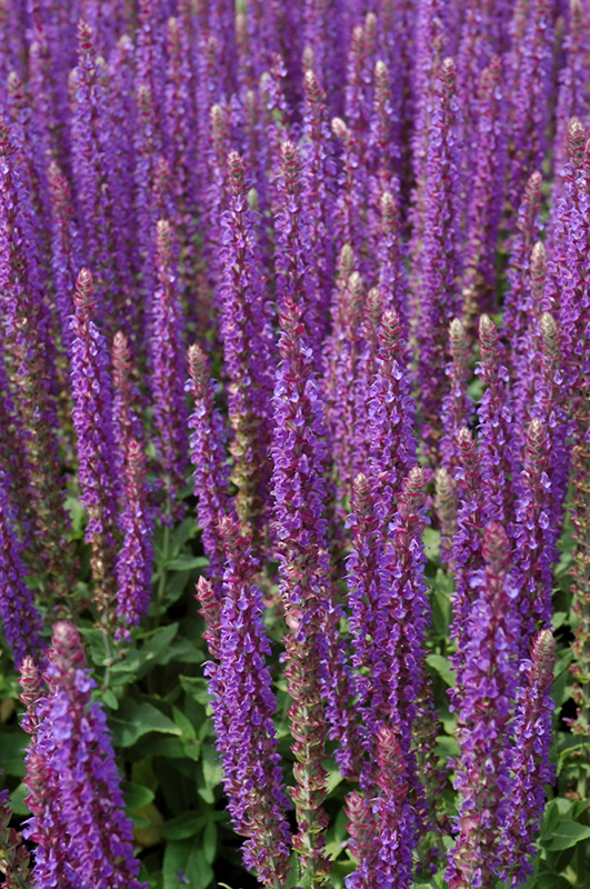 East Friesland Sage (Salvia nemorosa 'East Friesland') at Homestead Gardens