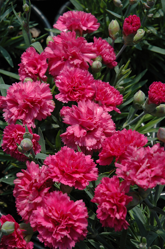 Early Bird Sherbet Pinks (Dianthus 'Wp08 Nik03') at Homestead Gardens