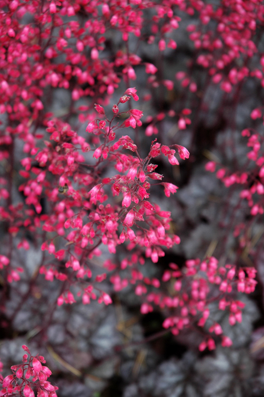 Glitter Coral Bells (Heuchera 'Glitter') at Homestead Gardens