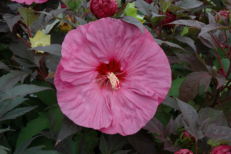 Summerific Berry Awesome Hibiscus (Hibiscus 'Berry Awesome') at Homestead Gardens
