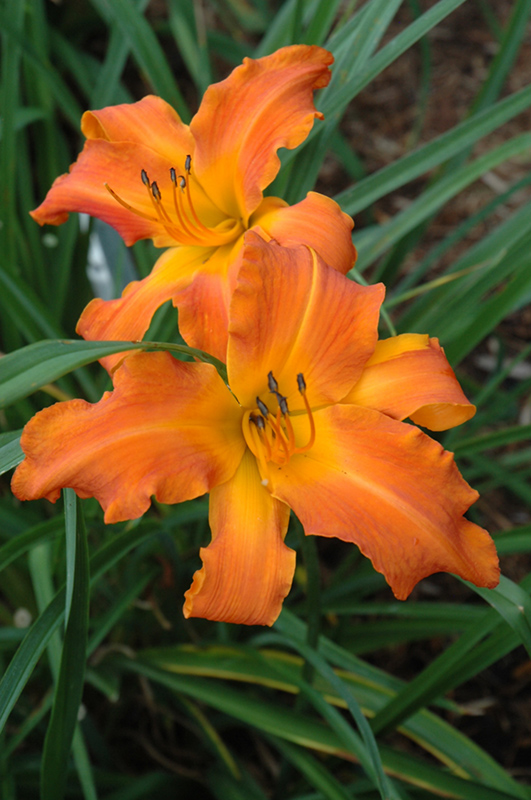 Primal Scream Daylily (Hemerocallis 'Primal Scream') at Homestead Gardens