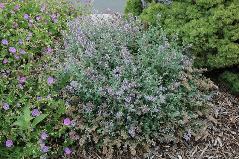 Cat's Meow Catmint (Nepeta x faassenii 'Cat's Meow') at Homestead Gardens