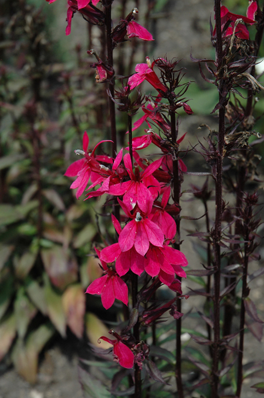 Starship Deep Rose Lobelia (Lobelia 'Starship Deep Rose') at Homestead Gardens