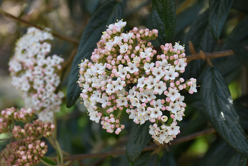 Prague Viburnum (Viburnum x pragense) at Homestead Gardens