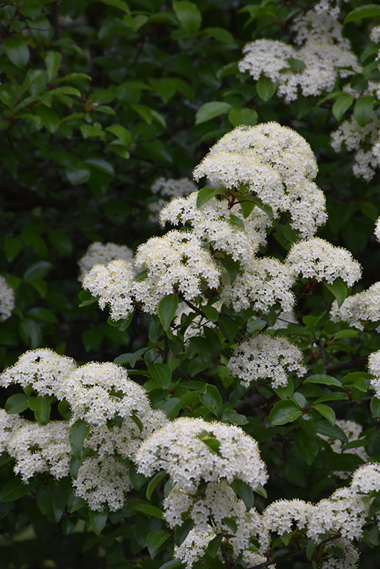 Blackhaw Viburnum (Viburnum prunifolium) at Homestead Gardens