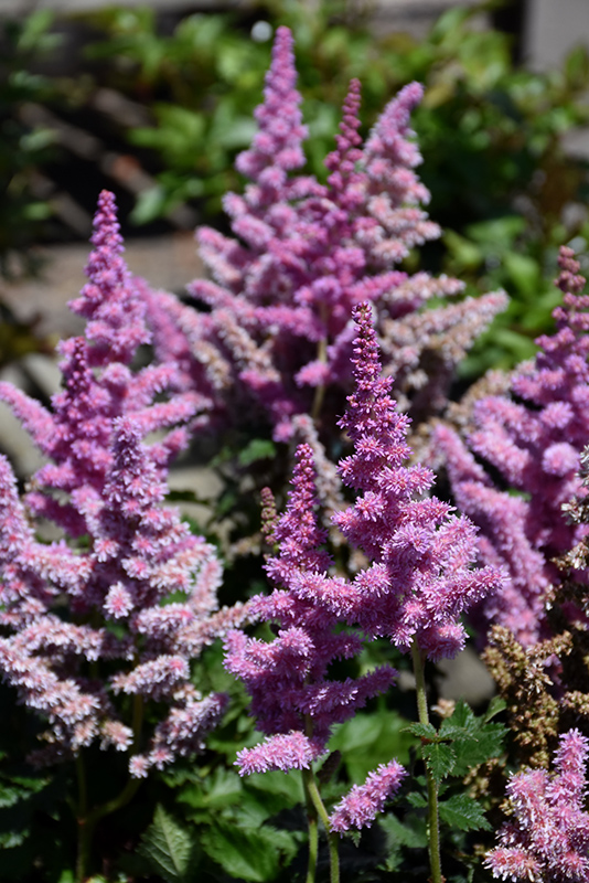 Little Vision In Purple Chinese Astilbe (Astilbe chinensis 'Little Vision In Purple') at Homestead Gardens