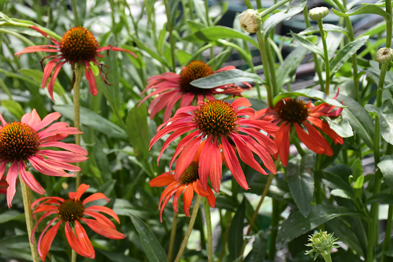 Tomato Soup Coneflower (Echinacea 'Tomato Soup') at Homestead Gardens