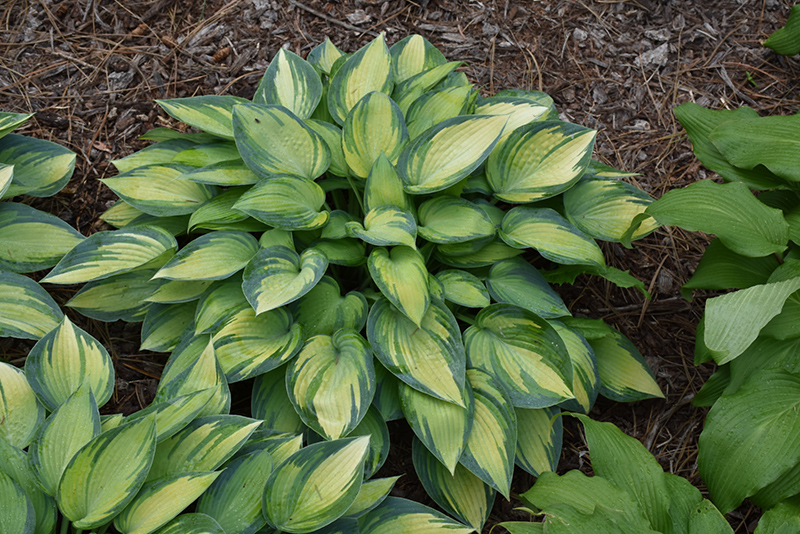 June Hosta (Hosta 'June') at Homestead Gardens