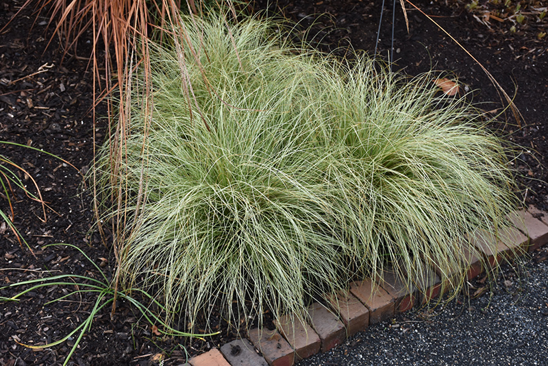 New Zealand Hair Sedge (Carex comans 'Frosted Curls') at Homestead Gardens