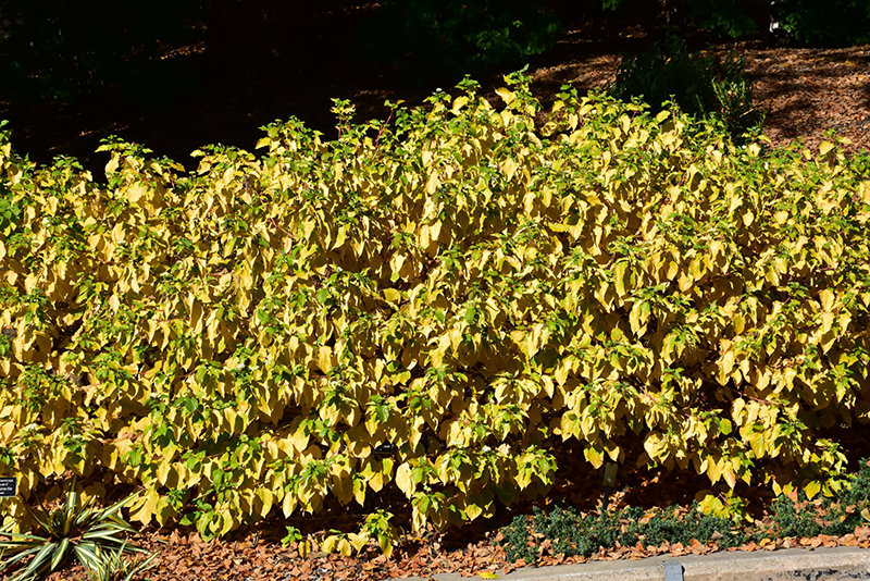 Arctic Sun Dogwood (Cornus sanguinea 'Cato') at Homestead Gardens