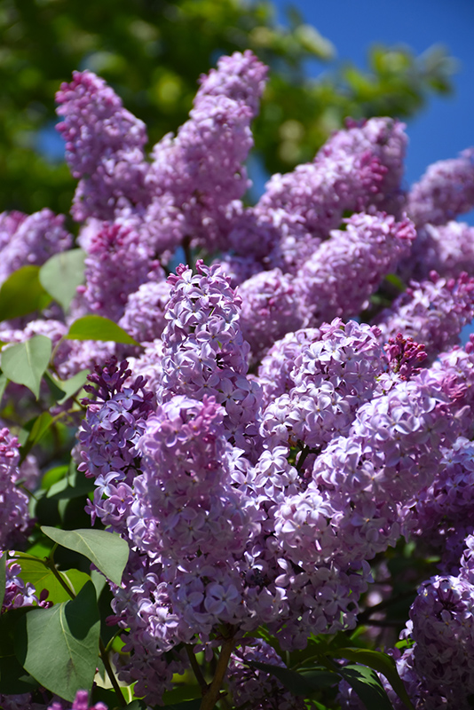 Common Lilac (Syringa vulgaris) at Homestead Gardens