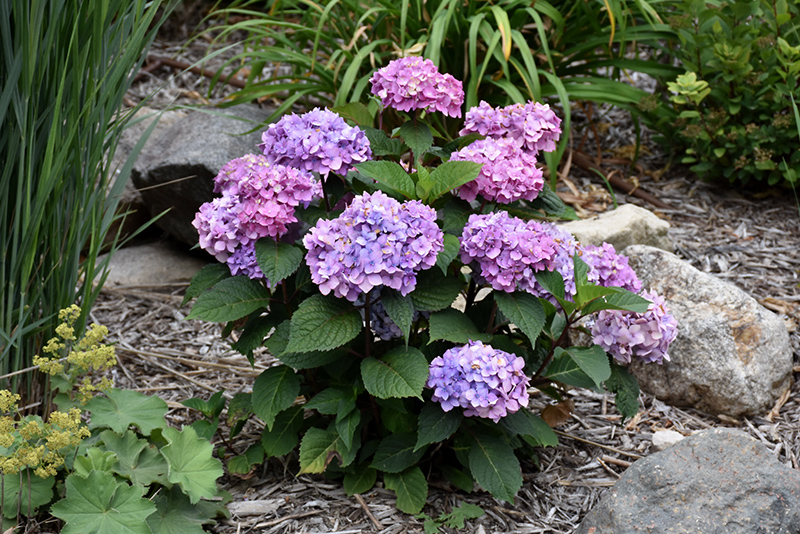 Bloomstruck Hydrangea (Hydrangea macrophylla 'PIIHM-II') at Homestead Gardens