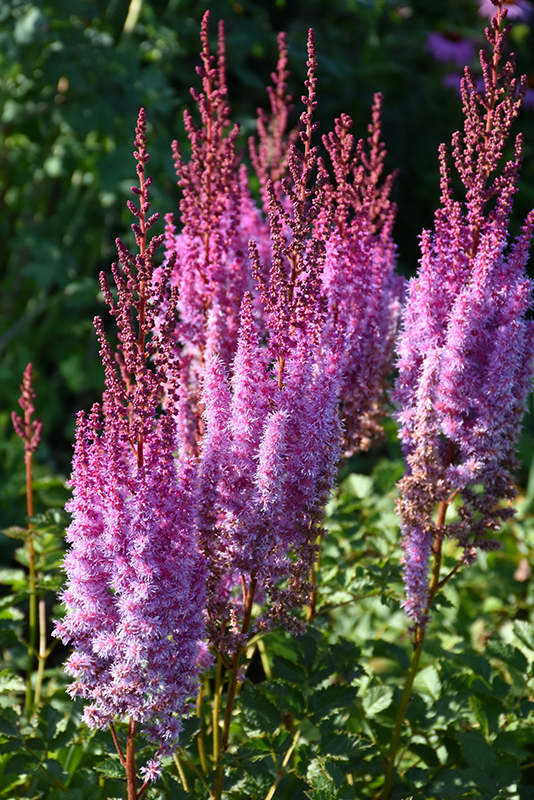 Superba Chinese Astilbe (Astilbe chinensis 'Superba') at Homestead Gardens