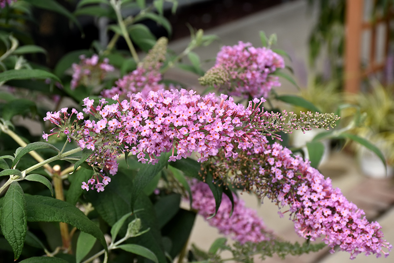 Pink Delight Butterfly Bush (Buddleia davidii 'Pink Delight') at Homestead Gardens