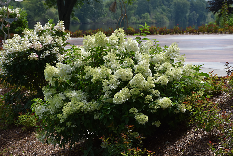 Little Lime Hydrangea (Hydrangea paniculata 'Jane') at Homestead Gardens