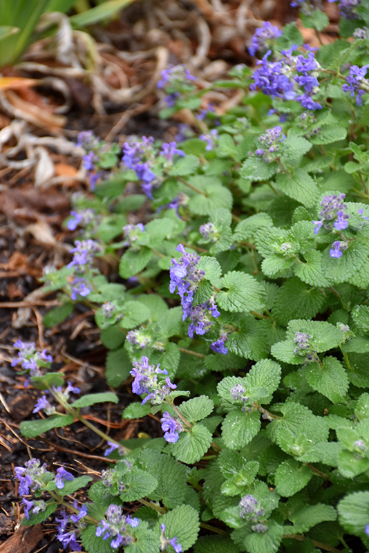 Early Bird Catmint (Nepeta 'Early Bird') at Homestead Gardens