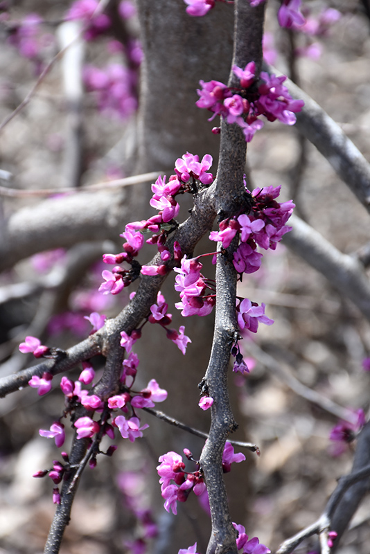 Ruby Falls Redbud (Cercis canadensis 'Ruby Falls') at Homestead Gardens
