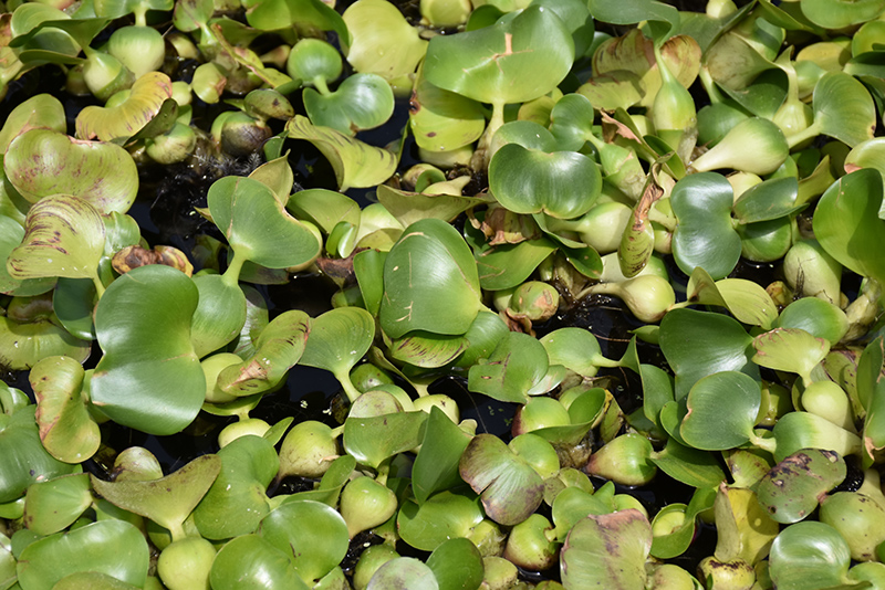 Water Hyacinth (Eichhornia crassipes) at Homestead Gardens
