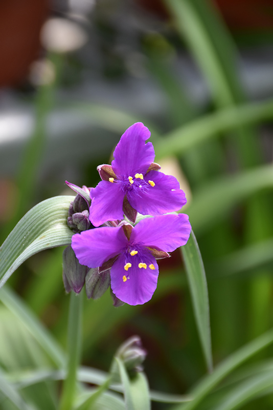 Concord Grape Spiderwort (Tradescantia x andersoniana 'Concord Grape') at Homestead Gardens