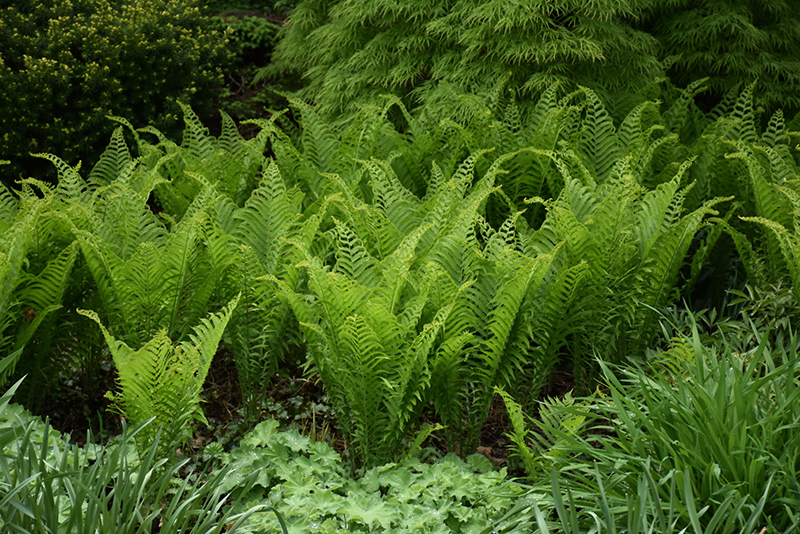 Ostrich Fern (Matteuccia struthiopteris) at Homestead Gardens