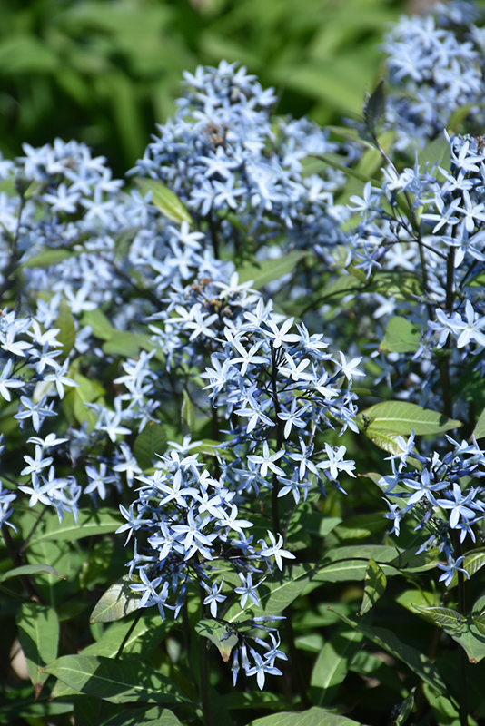 Storm Cloud Bluestar (Amsonia tabernaemontana 'Storm Cloud') at Homestead Gardens