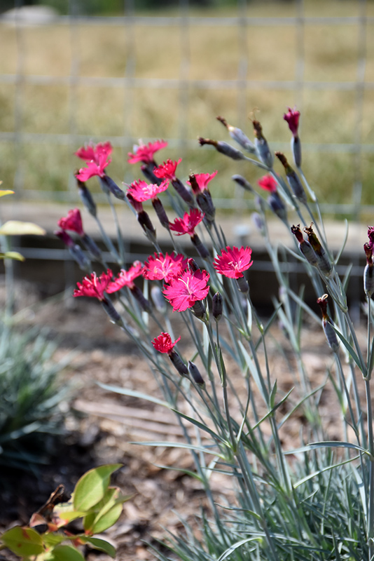 Wicked Witch Pinks (Dianthus gratianopolitanus 'Wicked Witch') at Homestead Gardens