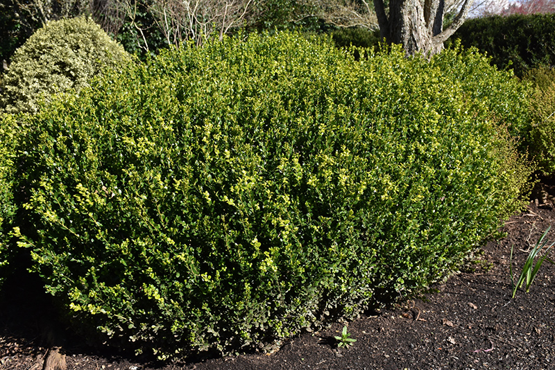 Green Beauty Boxwood (Buxus 'Green Beauty') at Homestead Gardens