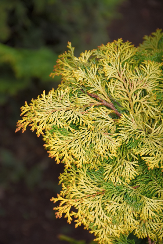 Golden Hinoki Falsecypress (Chamaecyparis obtusa 'Aurea') at Homestead Gardens