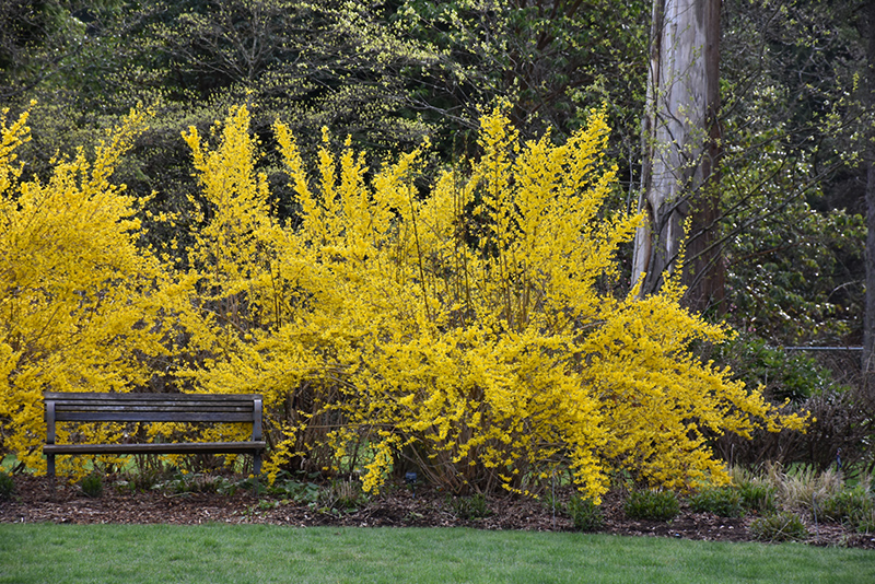 Lynwood Gold Forsythia (Forsythia x intermedia 'Lynwood Gold') at Homestead Gardens