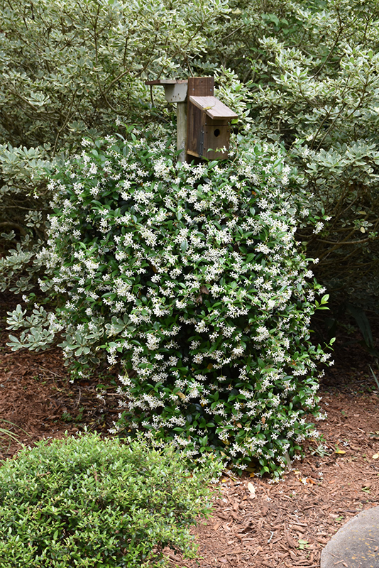 Madison Star-Jasmine (Trachelospermum jasminoides 'Madison') at Homestead Gardens