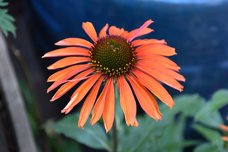 Firebird Coneflower (Echinacea 'Firebird') at Homestead Gardens