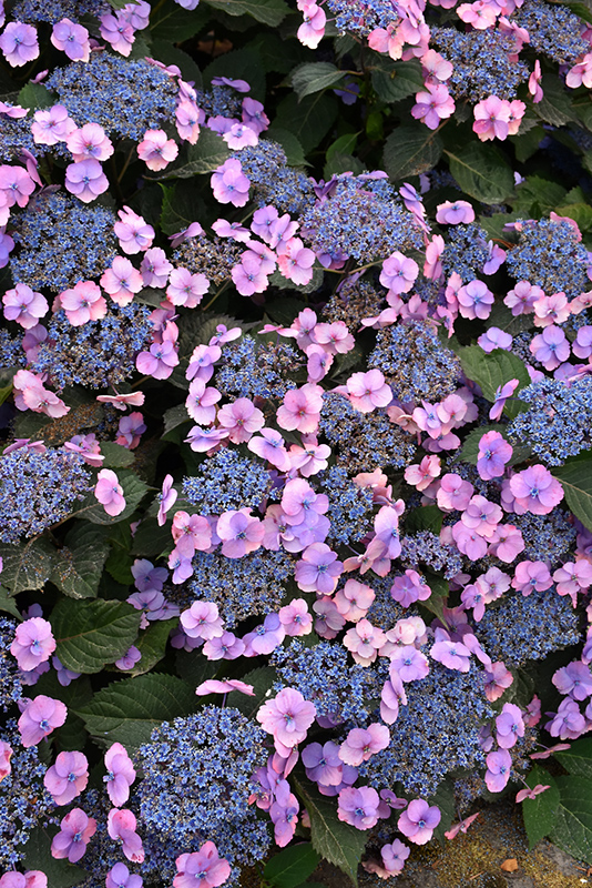 Tuff Stuff Hydrangea (Hydrangea serrata 'MAK20') at Homestead Gardens