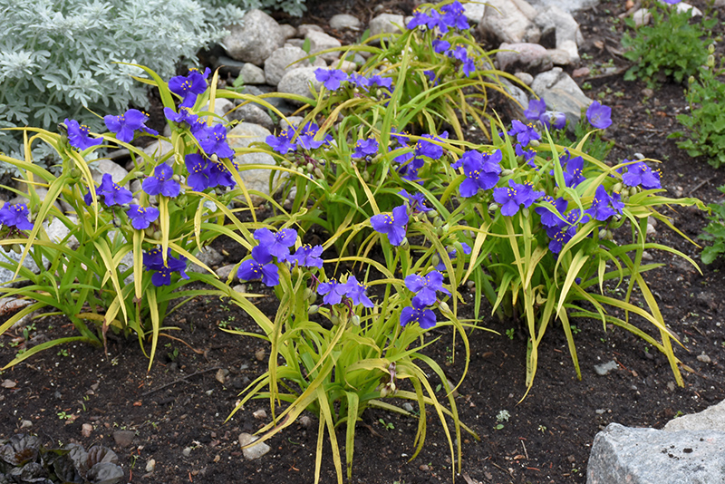 Sweet Kate Spiderwort (Tradescantia x andersoniana 'Sweet Kate') at Homestead Gardens