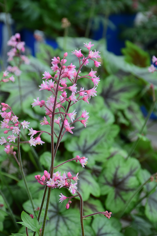 Pink Fizz Foamy Bells (Heucherella 'Pink Fizz') at Homestead Gardens