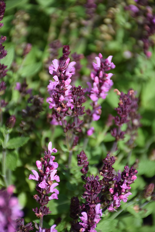 New Dimension Rose Meadow Sage (Salvia nemorosa 'New Dimension Rose') at Homestead Gardens