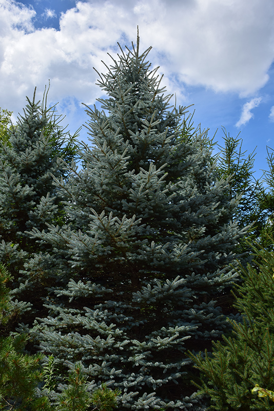 Baby Blue Eyes Spruce (Picea pungens 'Baby Blue Eyes') at Homestead Gardens