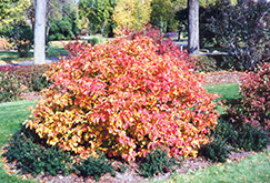 Large Fothergilla (Fothergilla major) at Homestead Gardens