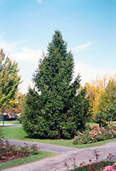 Norway Spruce (Picea abies) at Homestead Gardens