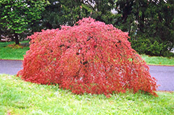 Weeping Japanese Maple (Acer palmatum 'Pendulum') at Homestead Gardens