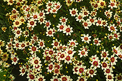 Snowberry Tickseed (Coreopsis 'Snowberry') at Homestead Gardens